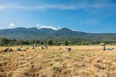 Riz de récolte d'agriculteurs Photographie stock libre de droits