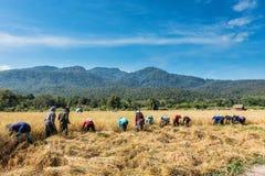 Riz de récolte d'agriculteurs Photographie stock