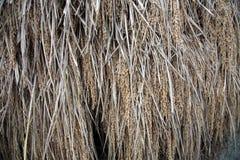 riz de séchage Images stock