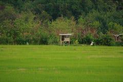 Riz de Sawa en Kota Marudu Sabah images stock