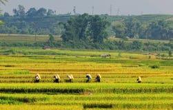 Riz de transport de personnes sur le champ en Yen Bai, Vietnam Image stock