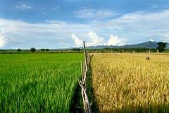 riz de zone image libre de droits