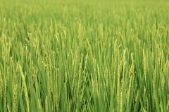 Riz en The Field Image stock