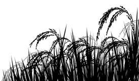 Riz mûr pour la récolte Photographie stock