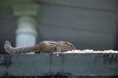 Riz mangeant l'écureuil photo libre de droits