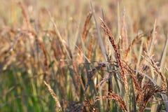 Riz noir avec la fleur Photographie stock libre de droits