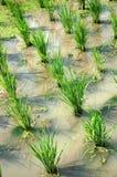 riz non-décortiqué Images stock
