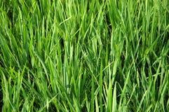 riz non-décortiqué Photo stock
