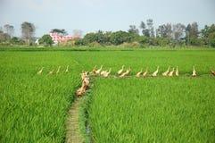riz non-décortiqué Photographie stock