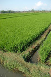 riz non-décortiqué Image libre de droits