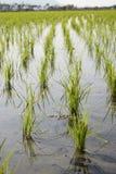 riz non-décortiqué photos stock