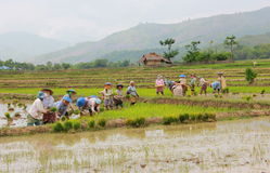 Riz non-décortiqué d'agriculteur dans le domaine Images stock