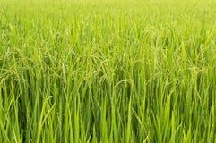Riz non-décortiqué dans le domaine de riz Photographie stock libre de droits