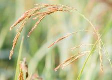 riz non-décortiqué dans le domaine, Thaïlande Photos stock