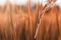 Riz non-décortiqué et graine de riz dans la ferme, le domaine organique de riz et l'AGR Images libres de droits