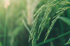 Riz non-décortiqué et graine de riz dans la ferme, le domaine organique de riz et l'AGR Photos stock
