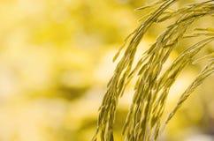 Riz non-décortiqué et graine de riz dans la ferme, le domaine organique de riz et l'AGR Images stock