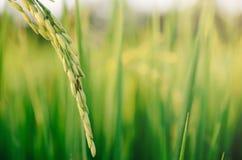 Riz non-décortiqué et graine de riz dans la ferme, le domaine organique de riz et l'AGR Photo libre de droits