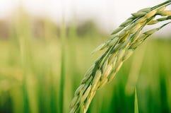 Riz non-décortiqué et graine de riz dans la ferme, le domaine organique de riz et l'AGR Image libre de droits