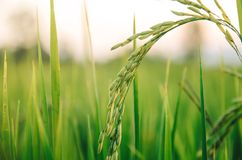 Riz non-décortiqué et graine de riz dans la ferme, le domaine organique de riz et l'AGR Photo stock
