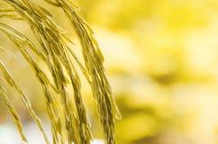 Riz non-décortiqué et graine de riz dans la ferme, le domaine organique de riz et l'AGR Photos libres de droits