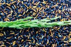 Riz non-décortiqué vert sur le fond pourpre noir de riz Photographie stock