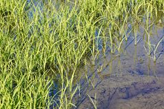 Riz Paddy Field photo libre de droits