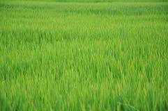 Riz Paddy Field images libres de droits