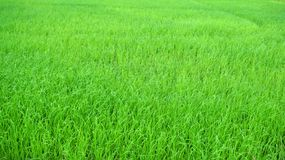 Riz Paddy Fields Images libres de droits