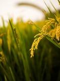 Riz Paddy Fields image stock