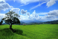 Riz Paddy Fields en Thaïlande Photo stock