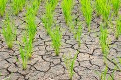 Riz s'élevant sur le champ de sécheresse Photographie stock