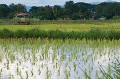 Riz semant sur des gisements de riz Images stock