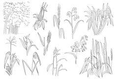 Riz Sugar Cane Plants Vector Outline de maïs de céréale d'herbe Illustration de Vecteur