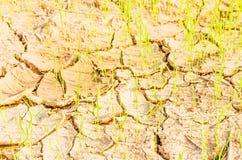Riz sur le champ de sécheresse Photo stock