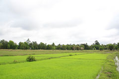 Riz, Thaïlande Photo libre de droits