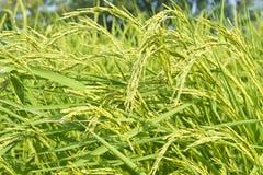 Riz vert Photos stock
