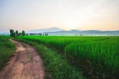 Riz vert et coucher du soleil de champ Images libres de droits