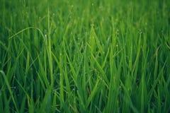 Riz vert pour le matin Photo stock