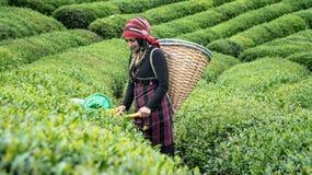 Unidentified tea picker young girl tea garden Rize Turkey East Blacksea stock photos