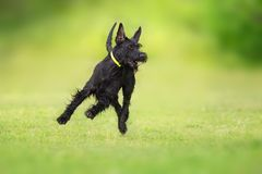 Rizen schnauzer dog. Giant schnauzer dog running on green grass royalty free stock photos