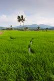 Rizière avec le ciel bleu chez Kota Marudu, Sabah, Malaisie est images stock