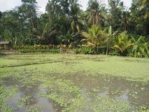 Rizière et palmeraies dans Bali, Indonésie images stock