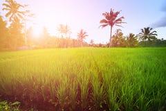 Rizière luxuriante de Bali tôt le matin photographie stock