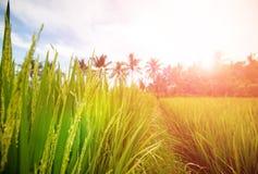 Rizière luxuriante de Bali tôt le matin images stock