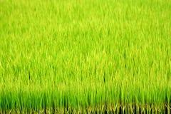 Rizière verte Images libres de droits