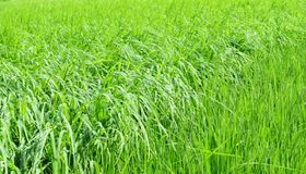 Rizière verte abondante Images stock