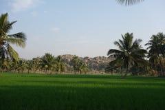 Rizières et arbres de noix de coco Photos stock