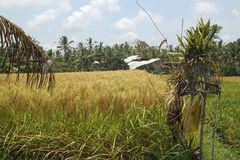 Rizières près d'Ubud sur Bali, Indonésie Photo stock