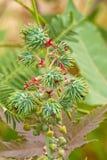 Rizinuspflanze Lizenzfreies Stockfoto